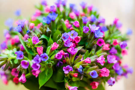 The bouquet of Pulmonaria or lungwort multicolor blue, magenta, red and purple blooming flowers