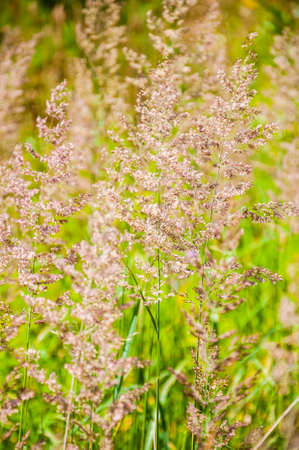 Wild growing Poa grass plant stems, genus of about 500 species of grasses, native to the temperate regions of both hemispheres. Common names include meadow-grass bluegrass, tussock, and speargrass Stock Photo