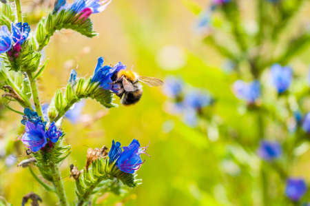 Worker bumblebee collecting nectar from wild blooming vibrant blue Echium vulgare, blueweed flower plants in the field
