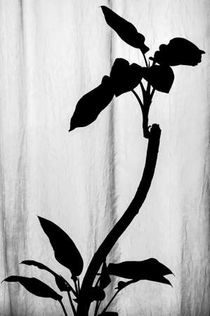 Black and white silhouette of Dieffenbachia plant with curved stem and growing lower and upper leaves standing near the vertical wavy white translucent textured fabric with natural light from behind Stock Photo