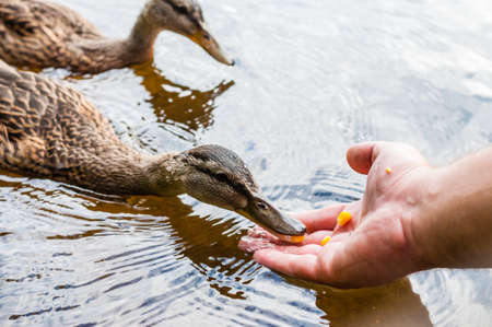 Brown ducks, ducklings eating corn grains from human palm hand in lake near the coast, feeding time. Water birds species in the waterfowl family Anatidae. Archivio Fotografico