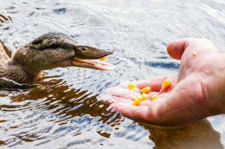 Brown ducks, ducklings eating corn grains from human palm hand in lake near the coast, feeding time. Water birds species in the waterfowl family Anatidae. Stock Photo