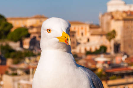 Close-up portrait of white Seagull sitting on the roof. The Larus Argentatus or the European herring gull, seagull is a large gull up to 65 cm long