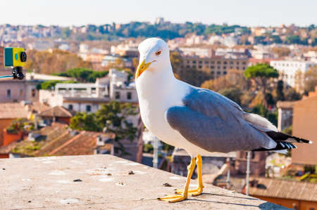 Close-up portrait of white Seagull sitting on the roof and posing to the camera. The Larus Argentatus or the European herring gull, seagull is a large gull up to 65 cm long 版權商用圖片