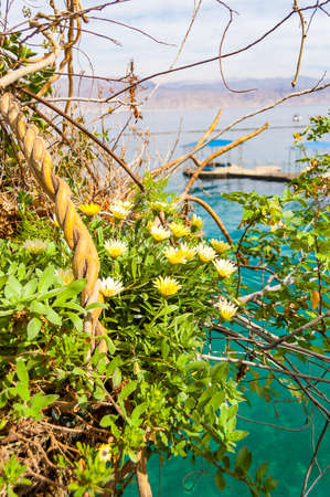 Yellow blooming southern flowers close-up with on water pavilions and wooden walkways in Eilat, Israel