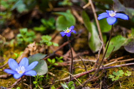 Macro close-up of first blooming tender Hepatica Snowdrop blue purple violet flowers in early spring forest 스톡 콘텐츠