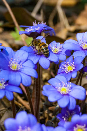 Macro close-up of worker bee collecting nectar from the first blooming tender Hepatica Snowdrop blue purple violet flowers in early spring forest 스톡 콘텐츠