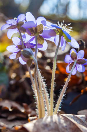 Macro close-up of first blooming tender Hepatica Snowdrop blue purple violet flowers in early spring forest Stock Photo