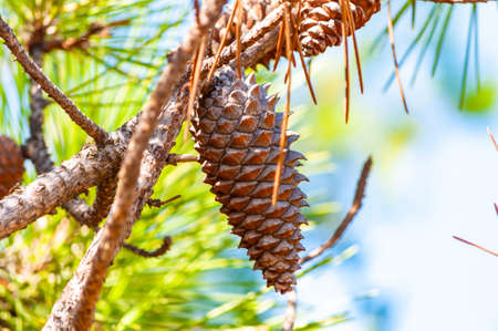 Closeup of a growing brown pine cone hanging on a branch of a tree surrounded by coniferous needles in Tuscany