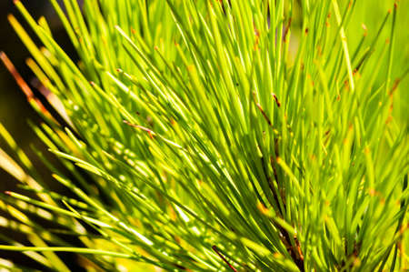 Closeup of a juicy green coniferous pine tree needles growing on a tree branch in Tuscany