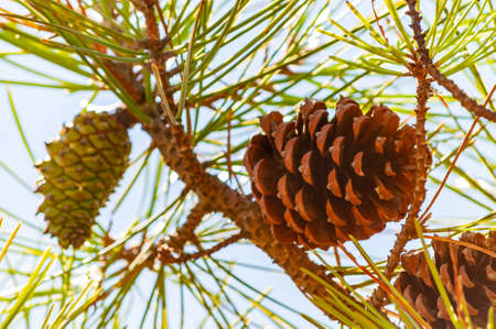 Closeup of a new green and old dried pine cones hanging on a branch of a coniferous tree in Tuscany 版權商用圖片