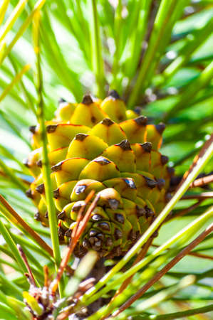 Closeup of a new growing green pine cone hanging on a branch of a coniferous tree surrounded by coniferous needles in Tuscany