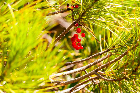 Red wild berries hanging on a branch of a tree surrounded by the juicy green coniferous pine tree needles in Tuscany Zdjęcie Seryjne