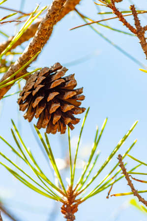 Closeup of a dried pine cone hanging on a branch of a tree surrounded by green coniferous needles in Tuscany Zdjęcie Seryjne