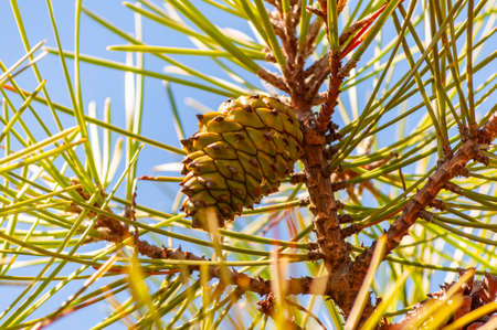 Lower closeup of a new green pine cone hanging on a branch of a coniferous tree in Tuscany