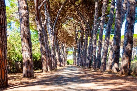 Lange gewölbte Pinienallee Gehweg im Naturwaldpark in der Nähe des Strandes Tenda Gialla, Orbetello, Provinz Grosseto, Italien