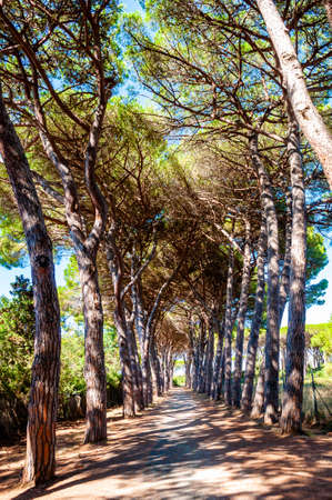 Long arched pine trees alley walkway in the natural forest park near the Tenda Gialla beach, Orbetello, Province of Grosseto, Italy