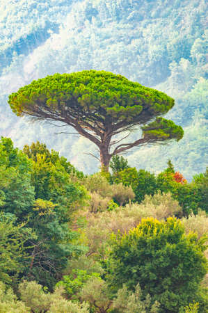 Single mediterranean pine tree growing on the top of the hill. Evergreen trees forests filling the gradient mountain range shrouded in fog. Misty Italian nature.