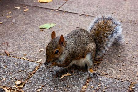 Common european squirrel sitting on the pavement sidewalk
