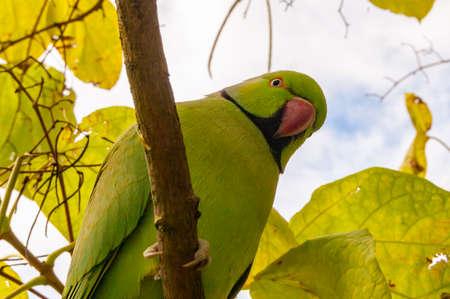 Wild British green parakeet parrot bird siting on the tree 版權商用圖片
