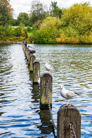 Seagulls birds sitting in a row on concrete columns connected metal chain in the middle of a pond in Hyde Park in London
