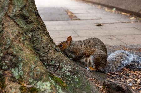 Common european squirrel sitting near the tree trunk on the pavement sidewalk
