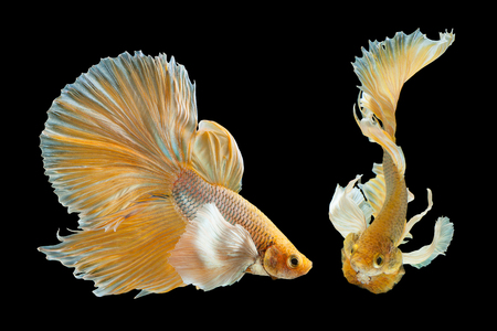 Betta Siamese fighting fish on a black background