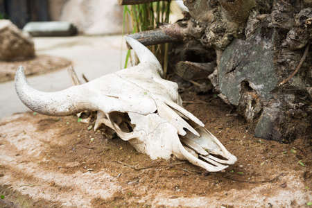 Skull cattle, remains, skeleton photo