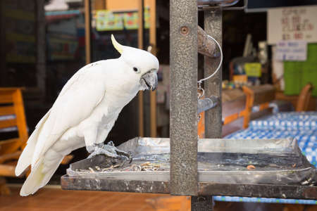 trough: One white parrot Cockatoo with yellow crest lives in captivity. The bird sits on a leash. Pets at home. The pet home. A parrot sits on a big metal trough.