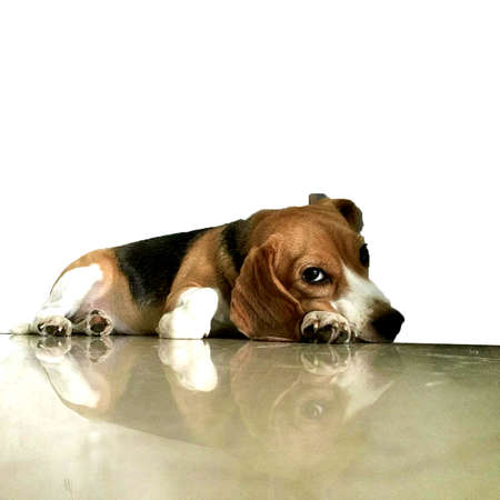 dog waiting: Lonely Beagle Dog waiting for you. Stock Photo
