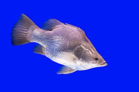 gibel: Siver fish Stock Photo