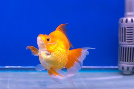 aquatic life: fish, gold, goldfish, golden, background, aquarium, animal, water, nature, color, motion, underwater, orange, blue, pet, life, swim, aquatic Stock Photo
