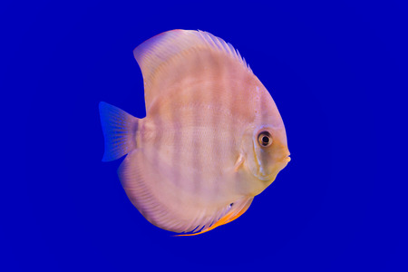 blue fish: Pompadour Fish on blue background Stock Photo