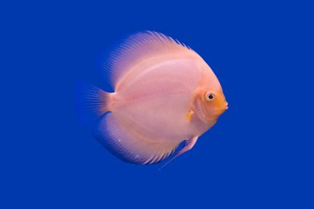 symphysodon discus: Pompadour Fish on blue background Stock Photo