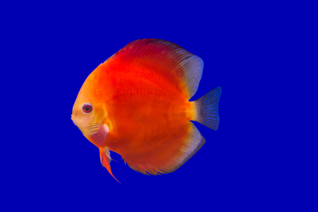Pompadour Fish on blue background photo
