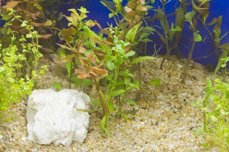 freshwater aquarium plants: Plant in aquarium with fresh water