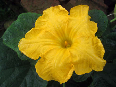 Yellow flower of pumpkin