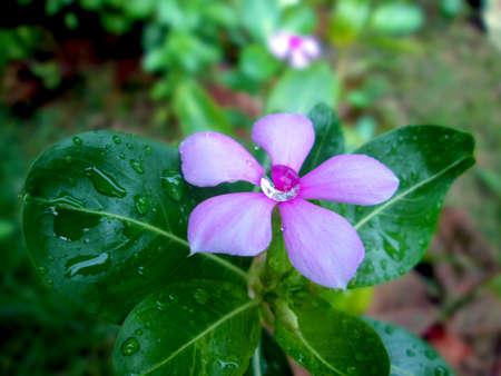 Beautiful water drop on pink periwinkle sadabahar flower stock beautiful water drop on pink periwinkle sadabahar flower stock photo 86792900 mightylinksfo