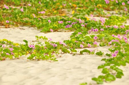 Morning glory on the sand photo