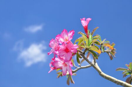 Type of flower, Impala Lily on sun shine day photo