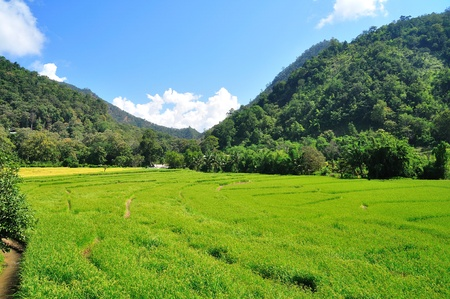 Image of rice Field, North of Thailand photo