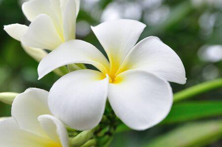 plumerias: White Plumerias for background