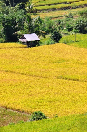 Field rice, good landscape in Thailand  Stock Photo