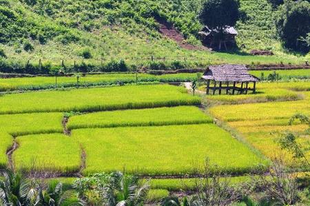 Field rice, good landscape in Thailand  photo