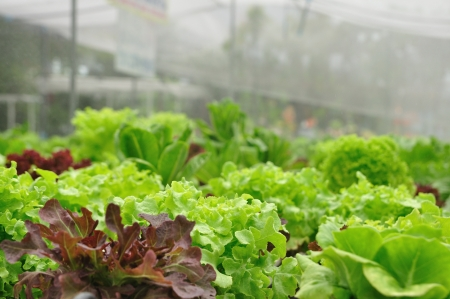 Close up organic vegetable farms, clean food