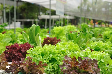 organic vegetable farms, clean food  photo