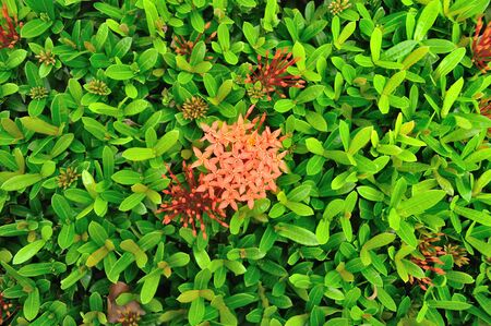 Close up of ixora flower in garden for background