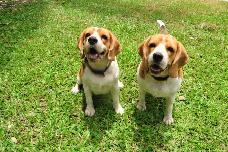 Beagle puppy dogs sitting on green yard  Stock Photo