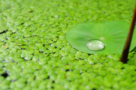 water drops on lotus leaf  photo