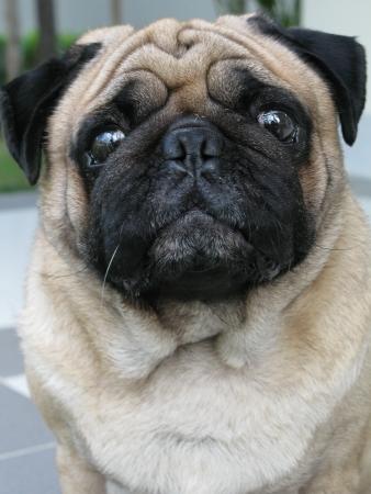 Portrait of cute pug dog photo